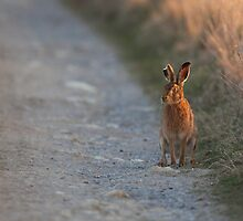 Brown Hare by Paul Blackley