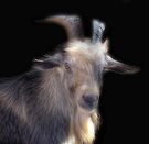 A Handsome Old Goat by Carolyn  Fletcher