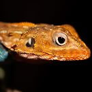 Agama Lizard by evilcat