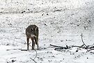 Coyote In Winter by Carolyn  Fletcher