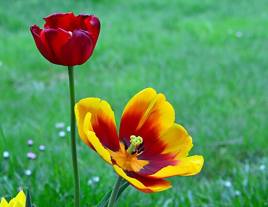 Two Tulips by gmws
