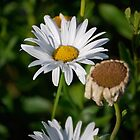 Daisy  by Randall Robinson