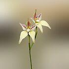Karri Cowslip Orchid, Caladenia flava susp, sylvestris by Julia Harwood