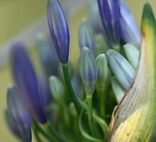 Agapanthus Bud by triciaoshea