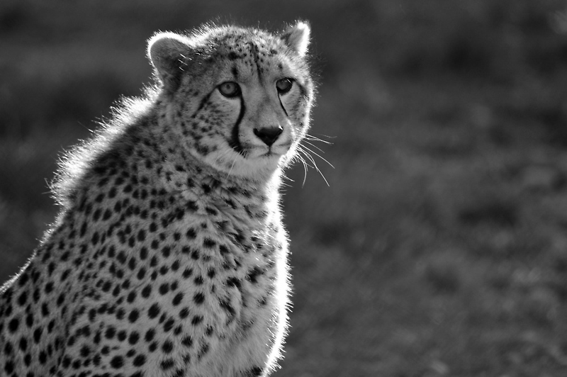 Cheetah at The Orana Wildlife Centre, Christchurch, New Zealand by Ralph de Zilva