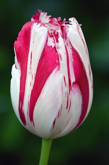 Tulip by gmws