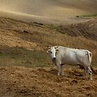 cows by CatharineAmato