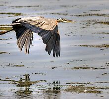 Low Flying Heron by Monte Morton