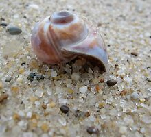 Nantucket Snail Shell by goshawn