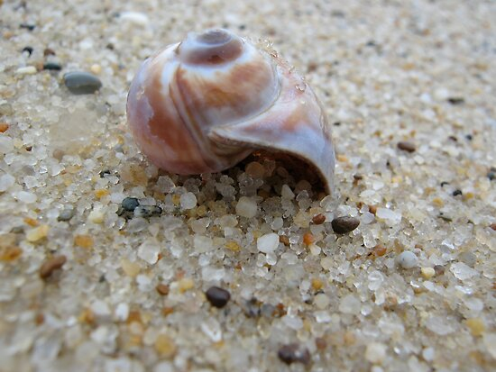 Nantucket Snail Shell by goshawn