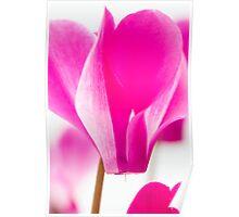 Hot Pink Cyclamen Poster