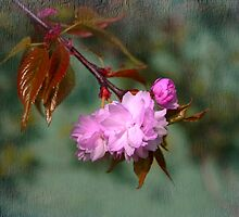 Cherry Blossom with bud by John Morrison