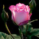 Pink Rosebud by Peter Wickham