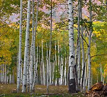 Ruby Range Aspen by Paul Gana