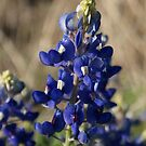 Texas Bluebonnets by TxGimGim