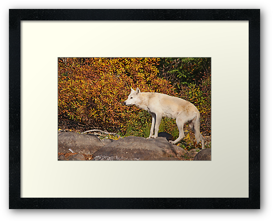 My First Timber Wolf by Vickie Emms