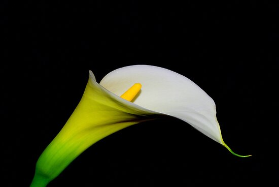 White Lily by Kerry  Hill