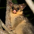 A New Possum in Our Neighbourhood by aussiebushstick
