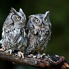 Screech owl pair by Jen St. Louis