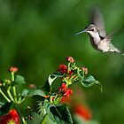 Hummingbird at lantana 1 by Jen St. Louis