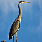 Great Blue Heron  by Saija  Lehtonen