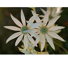 Flannel Flower Pair Photographic Print