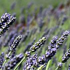 Lavender Panorama by Susan Segal