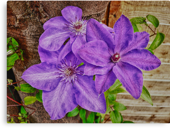 Clematis Trio by Sharon Brown