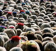 Flock Of Sheep Leaving Esperou Village For  Transhumance, France Provence  by Sami Sarkis