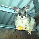 possum on the back verandah by aussieazsx