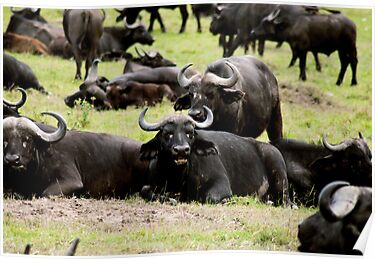 African Buffalo by evilcat