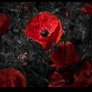 Red red poppy by Beverly Cash
