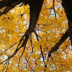 Yellow Autumn Trees prints Golden Fall Leaves by BasleeArtPrints