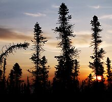 Black Spruce in the Early Morn by May-Le Ng