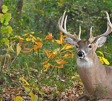 Whitetail Buck by Maria Dryfhout
