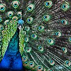 Peacock by Paul Alsop