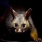 Australian Possum feeding on scraps by Peter Smith