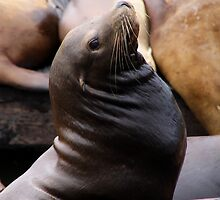 Seal @ Pier 39 by Natalie Ord