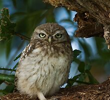 Little Owl by PaulScoullar