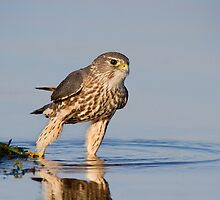 Merlin Testing the Waters. by Daniel Cadieux