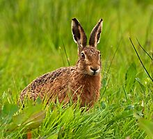 Brown Hare by PaulScoullar
