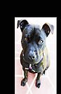 Staffordshire Bull Terrier by Evita