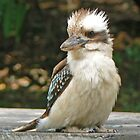 Dacelo novaeguineae - the Laughing Kookaburra by Graeme  Hyde