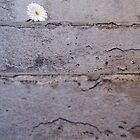 Daisy flower on concrete steps by Sami Sarkis