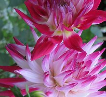 Purple Dahlias by orko