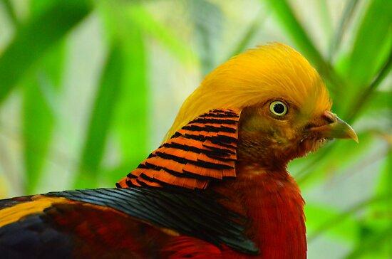 Goudfazant (Chrysolophus pictus) / Golden Pheasant by Jacqueline van Zetten