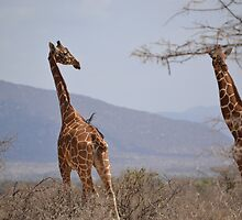 Reticulated Giraffes ~ Samburu National Park by ilyadusoleil