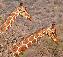 Reticulated Giraffes ~ Necking by ilyadusoleil