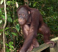Sepilok Orangutan Rehabilition Centre by Allan Saben