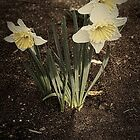 Daffodil Trio by Elaine Teague